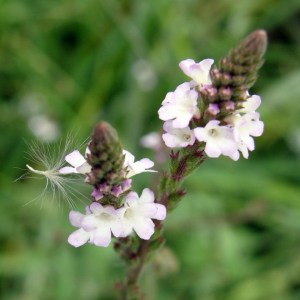 Verveine // Officinale (Graines)