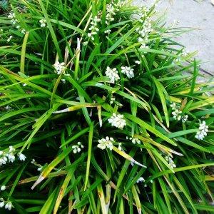Ophiopogon // Du Japon 'Mai Men Dong' (Plant)