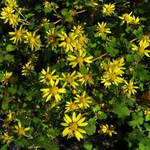 Chrysanthème //  de Nankin