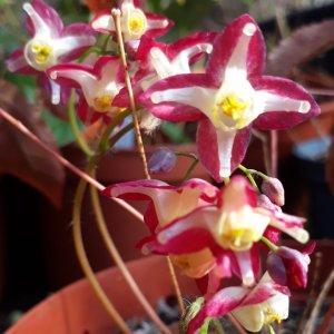 Epimedium // Rouvre (Plant)