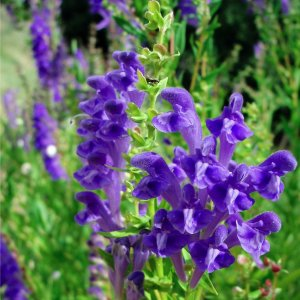 Scutellaire // Du lac Baïkal 'Huang Qin' (Plant – 'Selection')