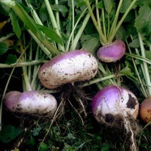 Navet // Rave violette d'Auvergne (Graines)