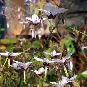 Epimedium // de Fargèse 'Yin Yang Huo' (Plant)