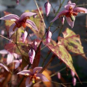 Epimedium // Pubescent 'Yin Yang Huo' (Plant)
