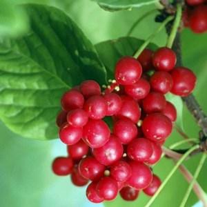 Schisandra // Baie aux cinq saveurs 'Wu Wei Zi' (Plant)