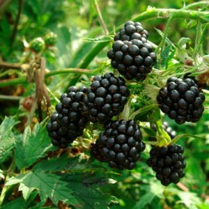 Mûrier // Sans épines à gros fruits (Plant)