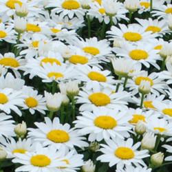 Leucanthemum-Snow-Cap-Pepiniere-Villeneuve