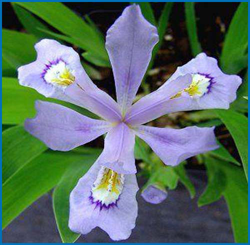 Iris powder blue giant