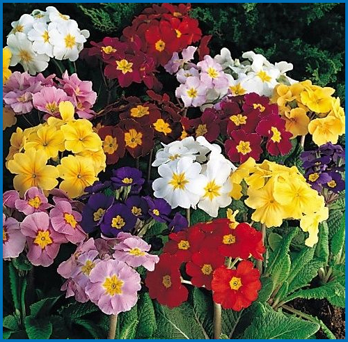 Primula-pacific-Giant