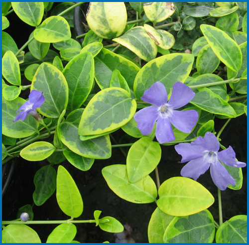 Vinca Minor Blue And Gold