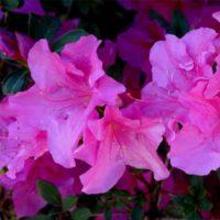 Azalea (Azalée) - arbustes