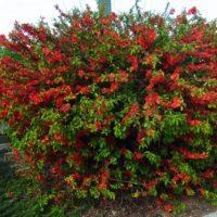 Chaenomeles (Cognassier) - arbustes