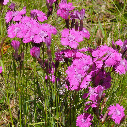 Dianthus (Oeillet) - vivaces