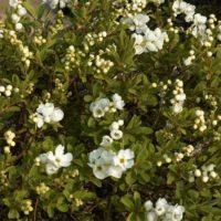 Exochorda (arbre aux perles) - arbustes
