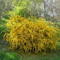 Kerria Japonica (Corête du Japon) - arbustes