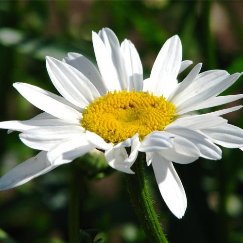Leucanthemum (Marguerite) - vivaces