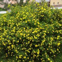 Potentilla fructicosa (Potentille) - arbustes