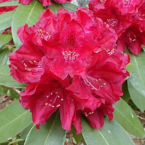 Rhododendron Henry Red