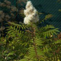 Sorbaria sorbifolia (Sorbaria à feuilles de sorbier) - arbustes