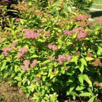 Spirea japonica (Spirée du Japon) - arbustes
