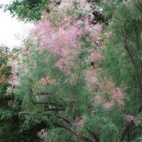 Tamarix ramosissima (Tamarix de Russie) - arbuste