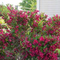 Weigela (Diervilla ) - arbustes