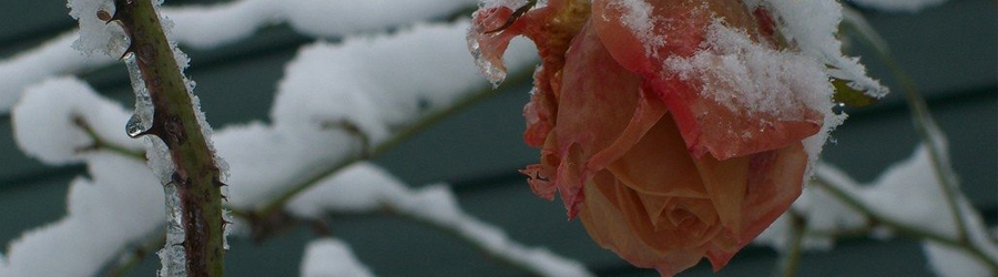La protection hivernale des rosiers