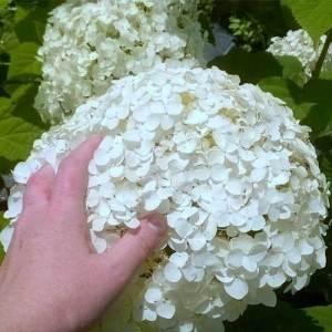 Hydrangée arborescente 'Annabelle' - arbustes