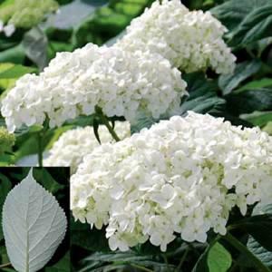 Hydrangée arborescente 'Radiata Samantha' - arbustes
