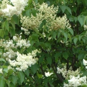 Lilas Reticulata 'Ivory Silk'