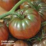 Tomates anciennes Noire de Crimée