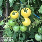 Tomates anciennes Groseille Blanche