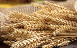 cereali biologici