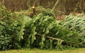 Photo - discarded Xmas trees - low-res
