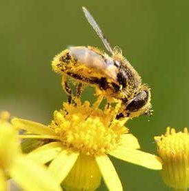 bee pollen allergy