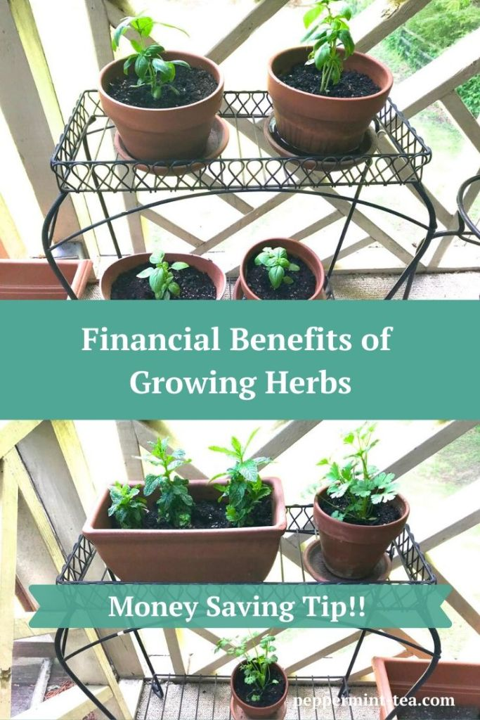 Photos of growing herbs in pots