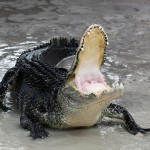 Defensive Alligator