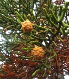 Pencil pine (Athrotaxis cupressoides) fruit. Dove Lake and Lake Lilla track junction Cradle Mountain, Tasmania. © Australian Plant Society Tasmania