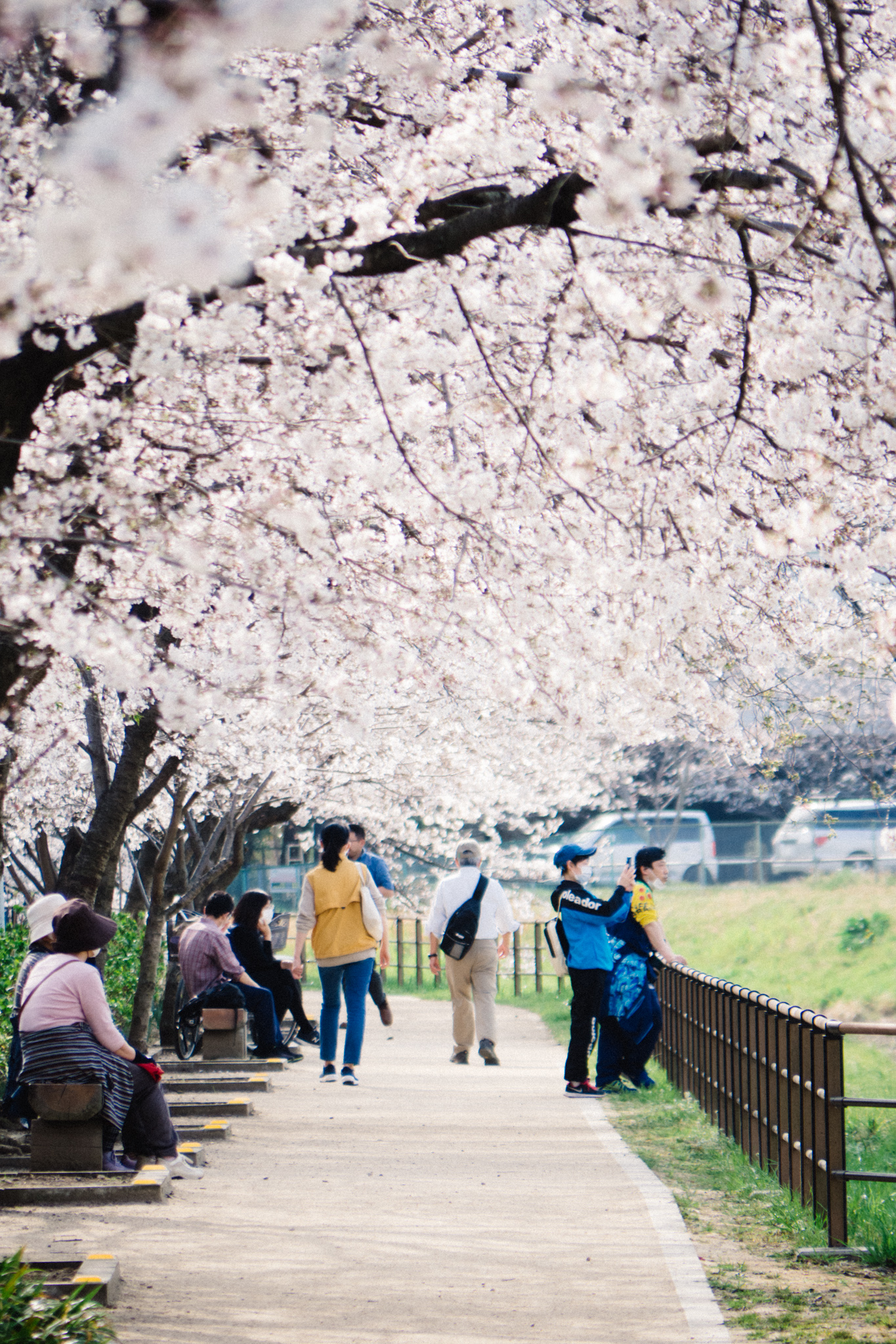People viewing cherry blossoms in Japan