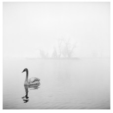 Young Swan (Zagreb, 1999.)