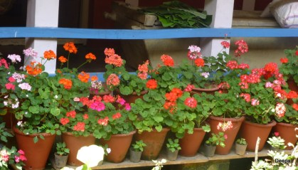A row of geraniums