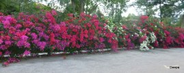 A row of bougainvillea
