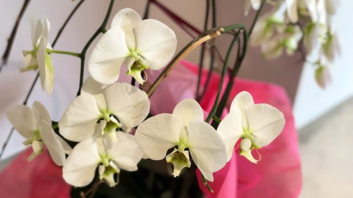 サロンの胡蝶蘭がまた咲きました!