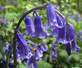 A_real_English_bluebell_in_Lanacre_Wood_-_geograph.org.uk_-_772332