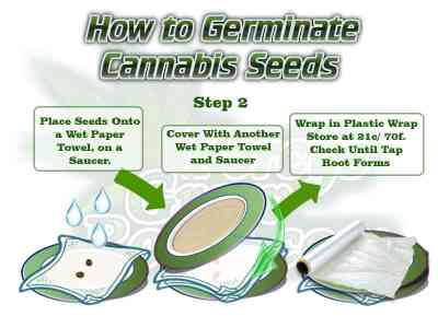 germinate cannabis seeds with paper towels, the paper towel method, Cannabis growers forum & community, How to grow cannabis, how to grow weed, a step by step guide to growing weed, cannabis growers forum, need help with sick plant, what's wrong with my cannabis plant, percys Grow Room, the Grow Room, percys Grow Guides, we'd growing forum, weed growers community, how to grow weed in coco, when is my cannabis plant ready for harvest, how to feed my cannabis plant, beginners guide to growing weed, how to grow weed for personal use, cannabis plant deficiency, how to germinate cannabis seeds, where to buy cannabis seeds, best weed growers website, Cannabis Growers forum, weed growers forum, How to grow legal cannabis, a step by step guide to growing weed, cannabis growing guide, tips for marijuana growers, growing cannabis plants for the first time, marijuana growers forum, marijuana growing tips, cannabis plant problems, cannabis plant help, marijuana growing expert advice
