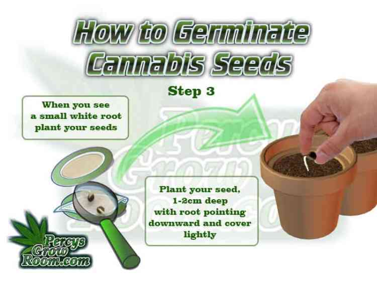 How to germinate cannabis seeds, how to germinate a cannabis seed