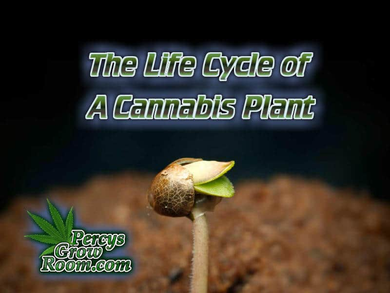 The Life Cycle of a Cannabis Plant, Learn to Grow - Percys