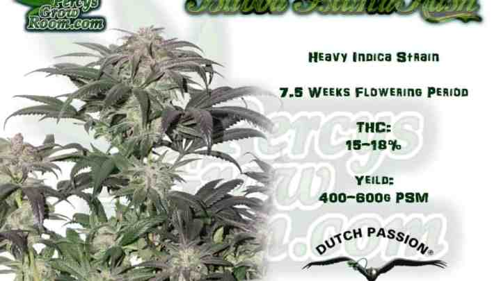 Percys Grow Room Bubba Island Kush Info Sheet, heavy Indica cannabis plant How to grow legal cannabis, a step by step guide to growing weed, cannabis growing guide, tips for marijuana growers, growing cannabis plants for the first time, marijuana growers forum, marijuana growing tips, cannabis plant problems, cannabis plant help, marijuana growing expert advice.