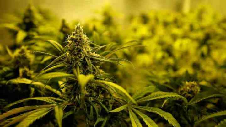 Benifits of legalising weed in the UK, UK weed, legalise weed UK, cannabis reform, How to grow weed in coco, percys grow guides, percys grow room, How to grow legal cannabis, a step by step guide to growing weed, cannabis growing guide, tips for marijuana growers, growing cannabis plants for the first time, marijuana growers forum, marijuana growing tips, cannabis plant problems, cannabis plant help, marijuana growing expert advice.