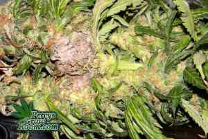 Bud Rot, what does bud rot look like, have i got bud rot? how to tell if i have bud rot, Cannabis growers forum & community, How to grow cannabis, how to grow weed, a step by step guide to growing weed, cannabis growers forum, need help with sick plant, what's wrong with my cannabis plant, percys Grow Room, the Grow Room, percys Grow Guides, we'd growing forum, weed growers community, how to grow weed in coco, when is my cannabis plant ready for harvest, how to feed my cannabis plant, beginners guide to growing weed, how to grow weed for personal use, cannabis plant deficiency, how to germinate cannabis seeds, where to buy cannabis seeds, best weed growers website